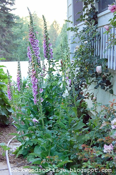 How to Grow Foxgloves, FlowerPatchFarmhouse.com (4 of 27)