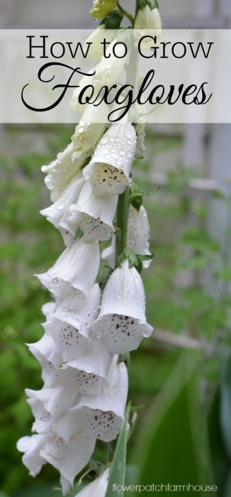 How to Grow Foxgloves, a favorite cottage garden flower that adds height to your borders and beds.