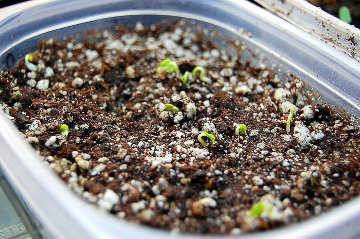 Seed germination, will epsom salt help?