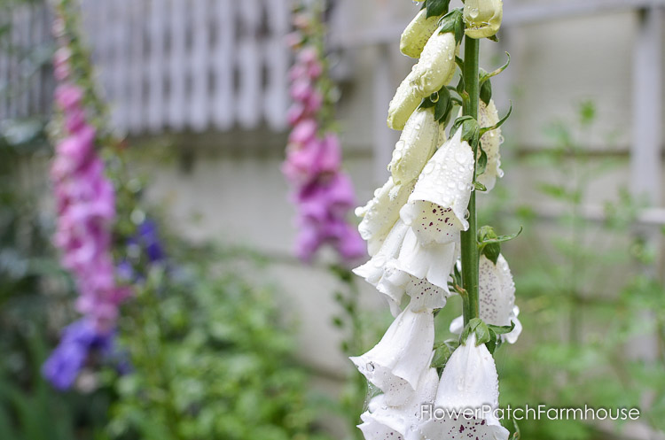 how to grow foxgloves for a height in your cottage garden