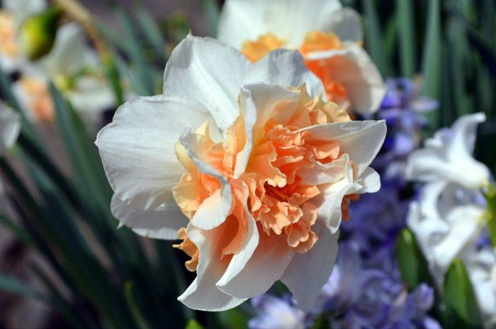 Creamsicle Daffodil, FlowerPatchFarmhouse.com