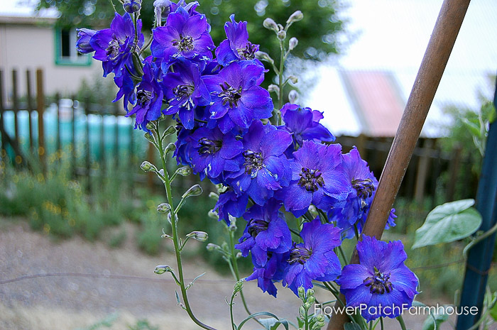 How to Grow Delphiniums from Seed (10 of 15)