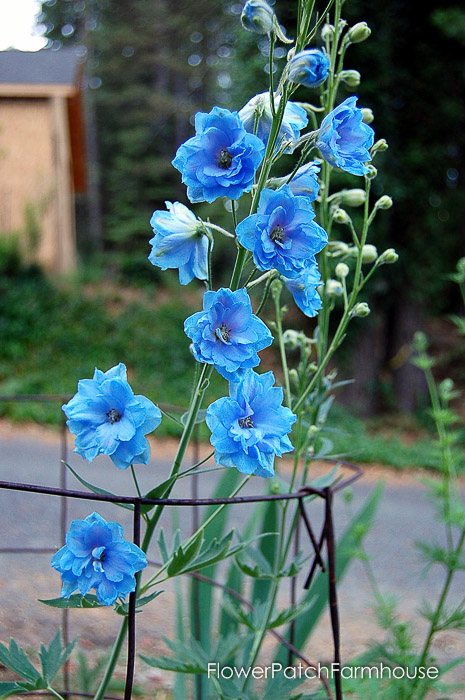 How to Grow Delphiniums from Seed (8 of 15)