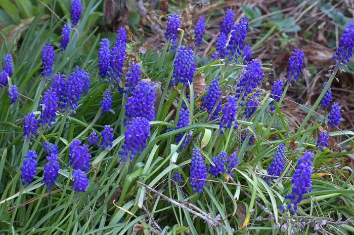 grape hyacinths, FlowerPatchFarmhouse.com