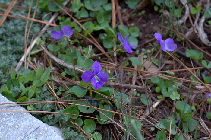 Sweet violets, FlowerPatchFarmhouse.com