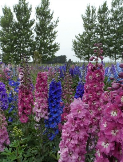 Grow Delphiniums from Seed