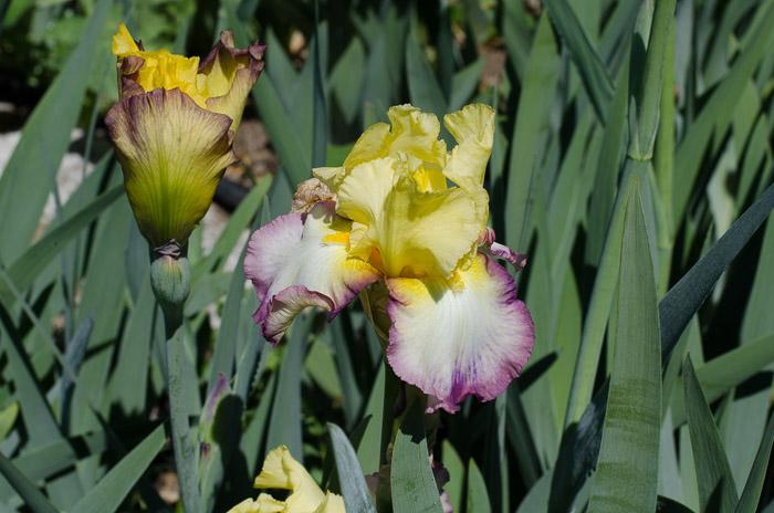 Iris Farm Visit, FlowerPatchFarmhouse.com