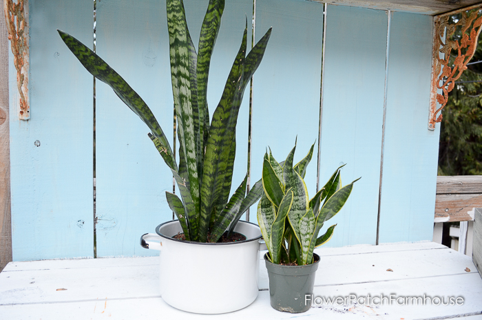 Sanseveria plant, Mother In Laws Tongue, Snake plant, how to control fungus gnats