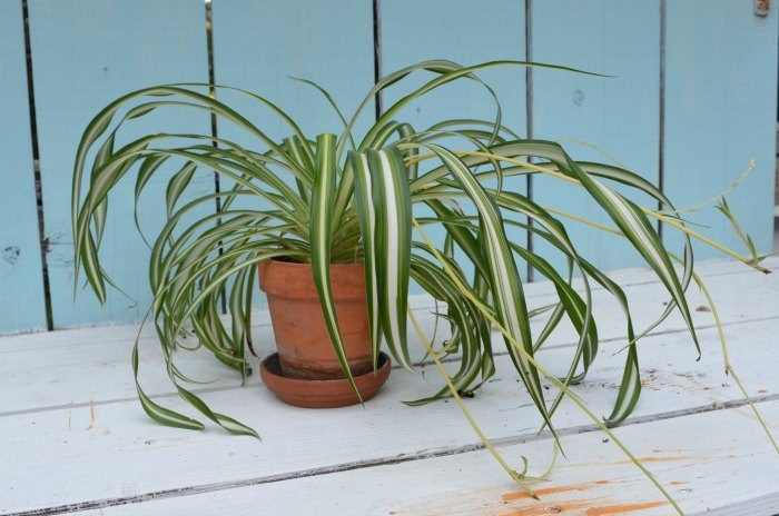 Clean your indoor air with house plants, Spider plants are one of many house plants that do double duty. They clean your indoor air while making a great Decorating element. DIY decor is livened up with house plants!