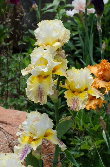 Brainstorm Iris, FlowerPatchFarmhouse.com