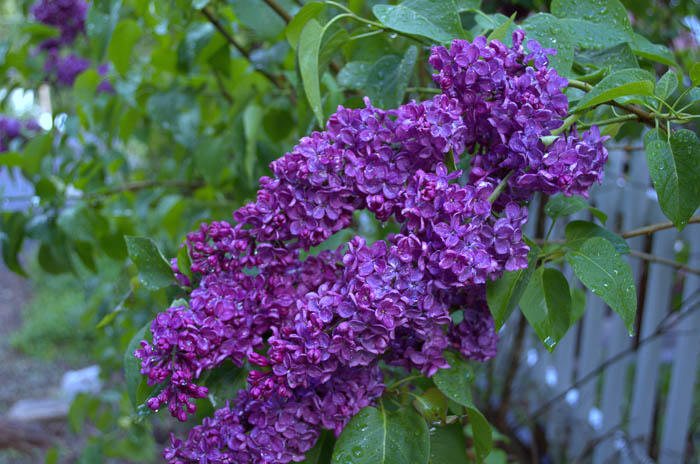 How to Grow Lilacs  Flower Patch Farmhouse