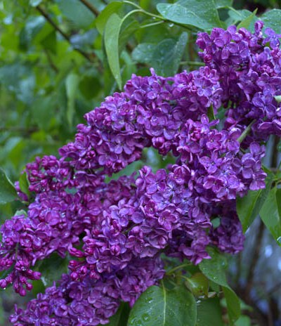 How to Grow Lilacs