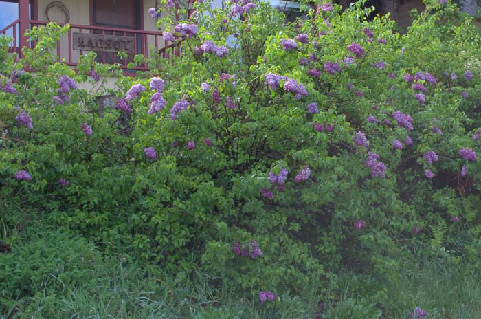 lavender and purple lilacs growing together, How to grow Lilacs,