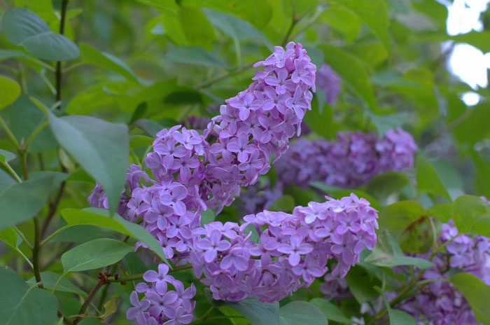 How to Grow and Care for Lilacs for a sweet cottage garden, FlowerPatchFarmhouse.com