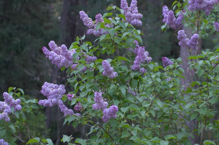 How to Grow and Care for Lilacs for tons of blooms, FlowerPatchFarmhouse.com