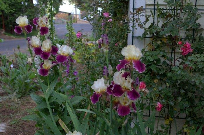Jazz Festival Iris, FlowerPatchFarmhouse.com