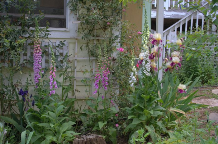 Foxgloves beside the cottage, FlowerPatchFarmhouse.com
