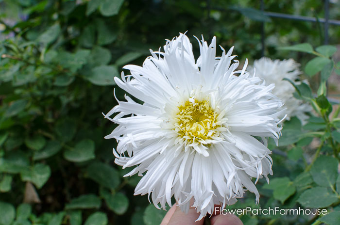 Aglaia Shasta Daisy, Garden Walk, FlowerPatchFarmhouse.com
