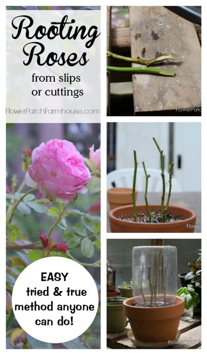 All About Plant Propagation, Learn how to root roses from cuttings or slips. A tried and true method that really works! Easy enough for beginners. FlowerPatchFarmhouse.com