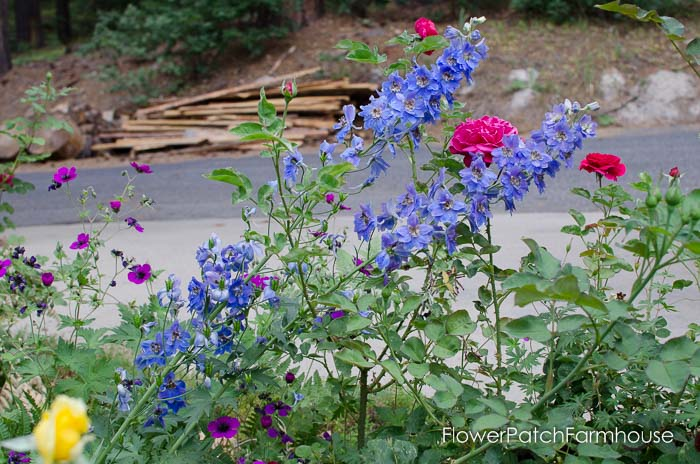 Delphiniums, how to take delphinium cuttings