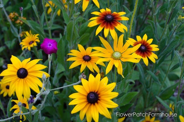 Green eyed Rudbeckia, FlowerPatchFarmhouse.com