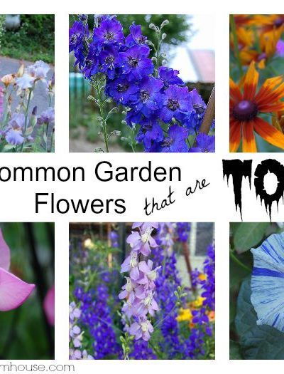 Did you know that many favorite cottage garden flowers are toxic? Come see which ones I grow and why I am not worried. FlowerPatchFarmhouse.com
