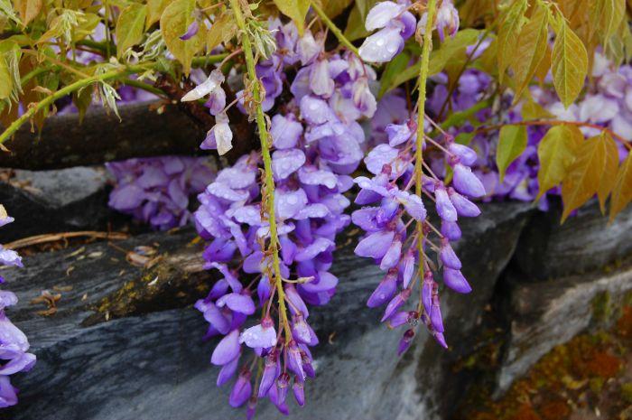 wisteria vine in spring