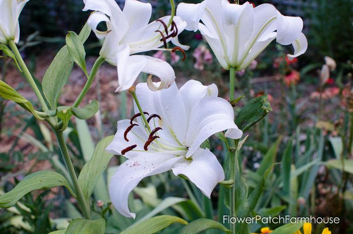 Garden Tour Aug 2, 2015, FlowerPatchFarmhouse.com (17 of 40)