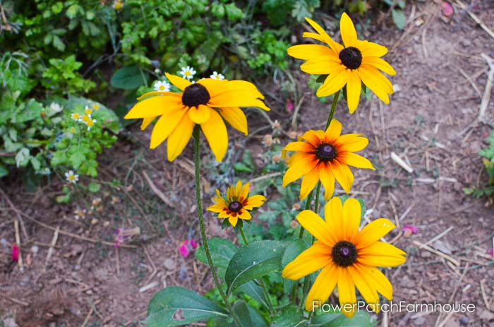 September 19 garden walk, FlowerPatchFarmhouse.com-0025