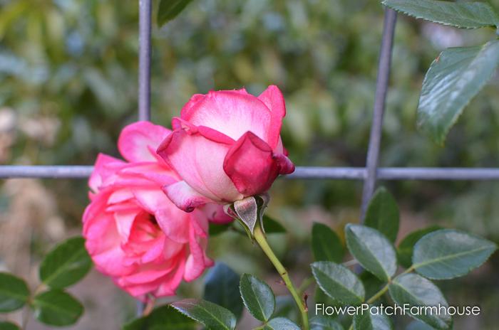 Kiss of Desire rose in the Secret Garden