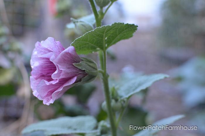 My beautiful garden on Oct 8, FlowerPatchFarmhouse.com (29 of 42)