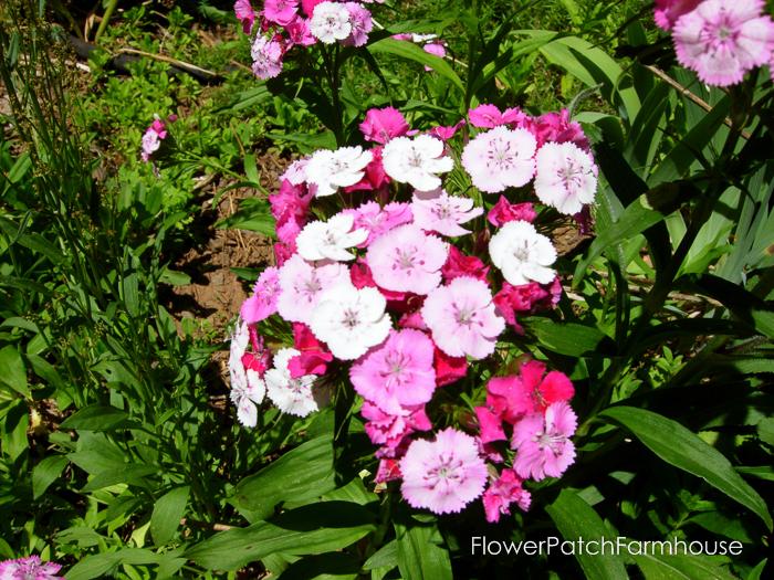 How to Grow Sweet Williams, FlowerPatchFarmhouse.com (4 of 8)