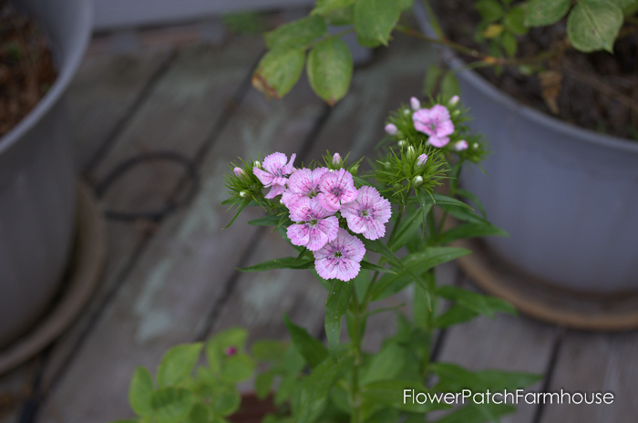 How to Grow Sweet Williams, FlowerPatchFarmhouse.com (7 of 8)