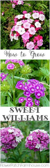 How to Grow Sweet Williams, a cottage garden favorite. FlowerPatchFarmhouse.com