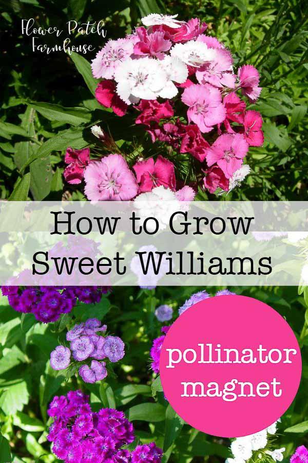 Sweet Williams, how to grow Sweet Williams in your Cottage Garden #cottagegarden #easyflowers #gardening #scentedflowers