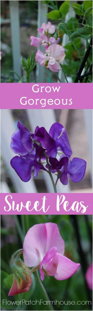 How to Grow Gorgeous Sweet Peas, it is so easy and the payoff is oh so sweet! FlowerPatchFarmhouse.com