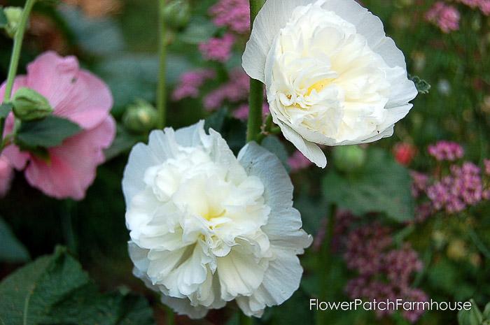 White double hollyhocks, how to grow hollyhocks, Flower Patch Farmhouse