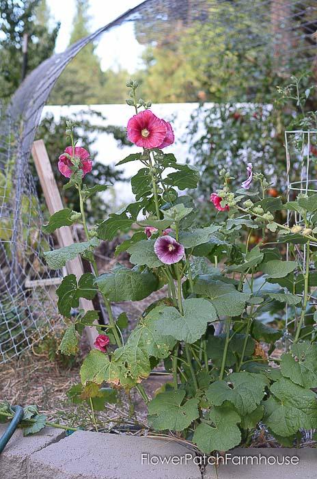volunteer hollyhocks in garden bed, Flower Patch Farmhouse