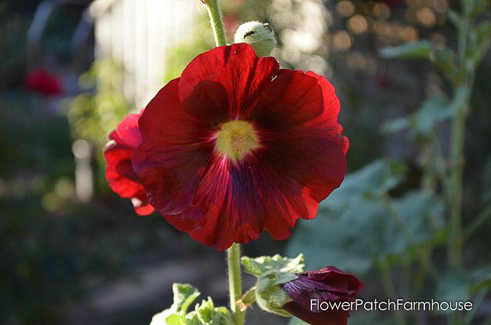 Red hollyhock, flower Patch Farmhouse
