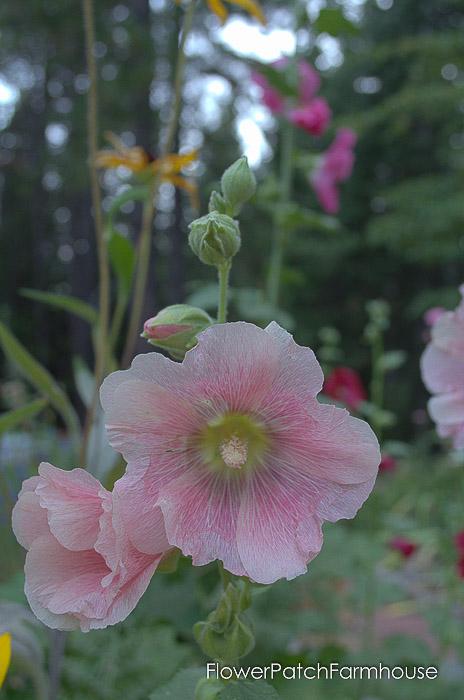 heirloom hollyhock plant, light pink, Flower Patch Farmhouse dot com