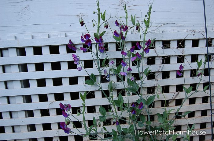How to Grow Sweet Peas, FlowerPatchFarmhouse.com (5 of 6)