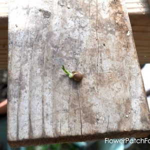 How to Plant Sweet Pea seeds, FlowerPatchFarmhouse.com (7 of 12)