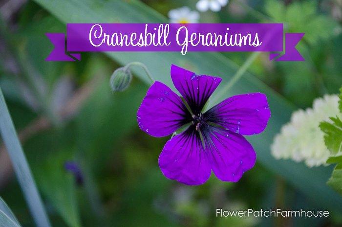 Dragons Heart Cranesbill, How to Grow Hardy Geraniums aka Cranesbill Geraniums, FlowerPatchFarmhouse.com