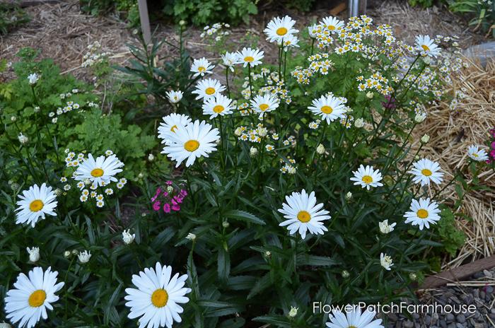 Daisy variety, FlowerPatchFarmhouse.com (4 of 1)
