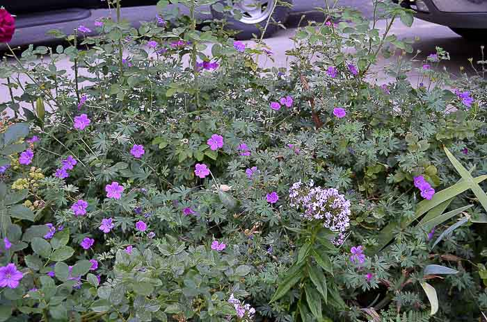 Hardy Cranesbill geraniums filling a flower bed, How to Grow Hardy Geraniums, Flower Patch Farmhouse