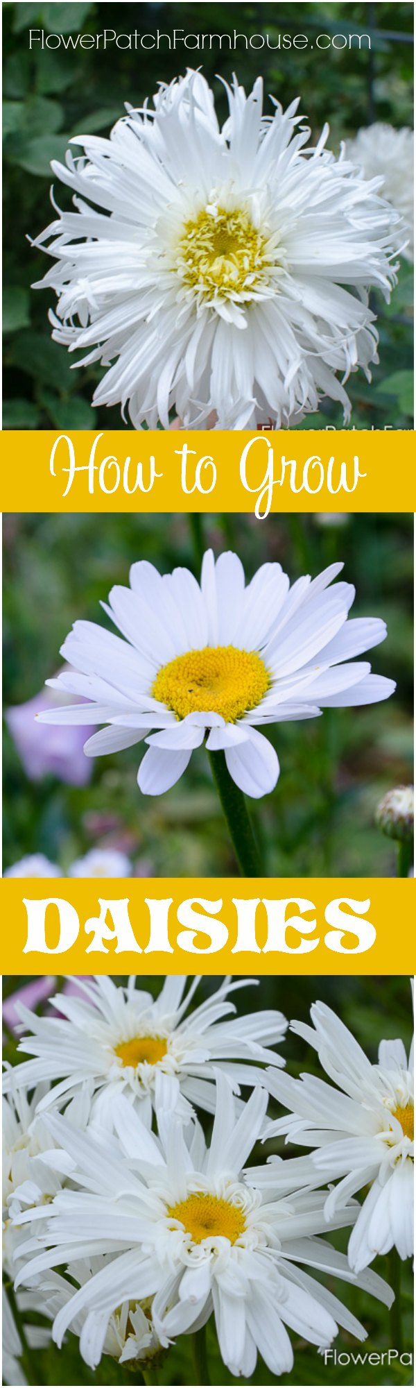 How to Grow Shasta Days, start from seeds or take root divisions. Add a bright touch to your Cottage Garden. FlowerPatchFarmhouse.com