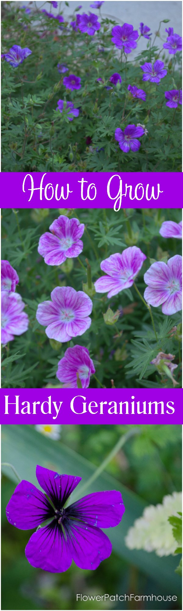 How to grow Hardy aka Cranesbill Geraniums.  A tough plant that will perform well in most gardens. Add this true geranium to your garden and enjoy its long bloom and ease of care.