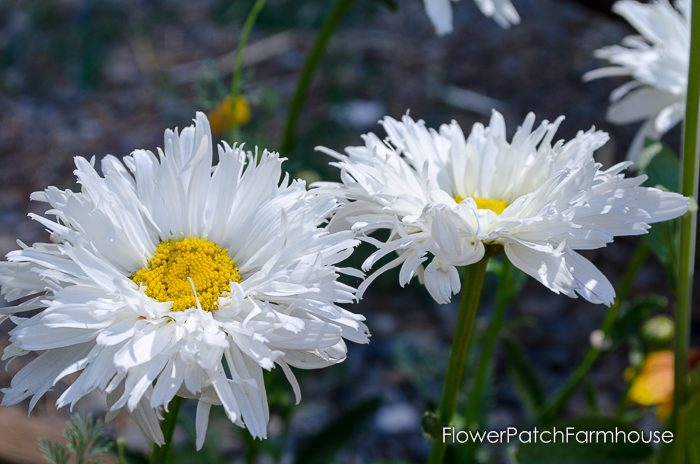 How to Grow a Shasta Daisy, FlowerPatchFarmhouse.com (3 of 14)