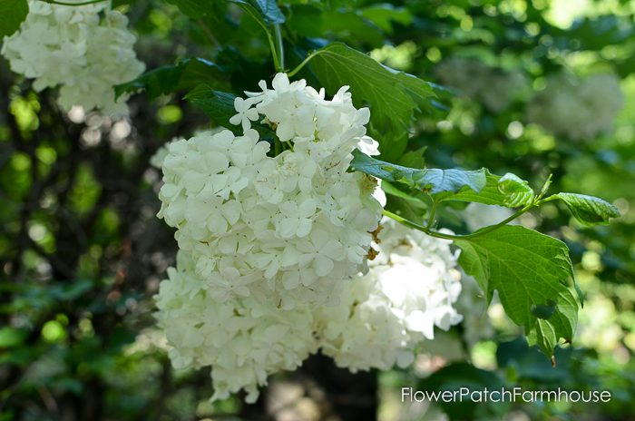 Snowball viburnum Ironstone Winery