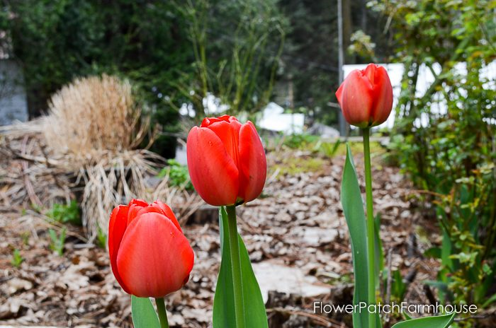 Red Tulips, Plant your Cottage Garden for Continuous Color